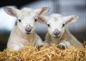Lambing Events Middle Farm