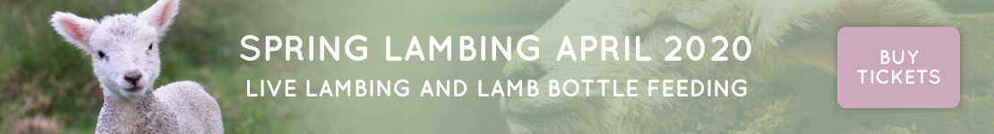Spring Lambing at Middle Farm April 2020